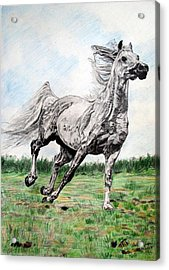 Acrylic Print featuring the drawing Galloping Arab Horse by Melita Safran