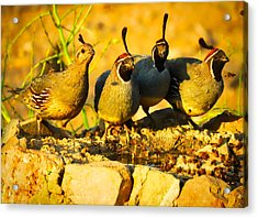 Gambel's Quail Foursome Acrylic Print