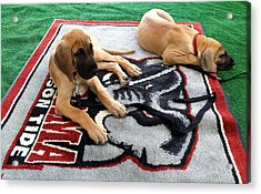 Gameday Great Dane Puppies Acrylic Print