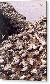 Gannet Cliffs Acrylic Print