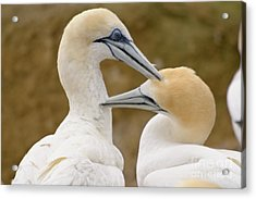 Acrylic Print featuring the photograph Gannet Pair 1 by Werner Padarin