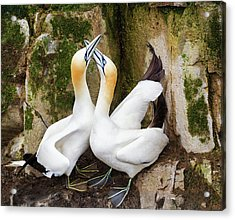 Gannet Passion Acrylic Print by Tracy Munson