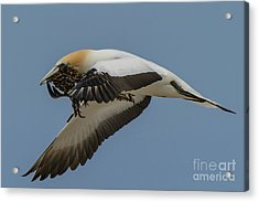 Acrylic Print featuring the photograph Gannets 1 by Werner Padarin