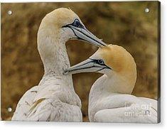 Gannets 4 Acrylic Print by Werner Padarin