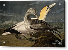 Gannets Acrylic Print by John James Audubon