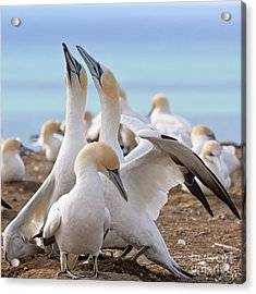 Acrylic Print featuring the photograph Gannets by Werner Padarin