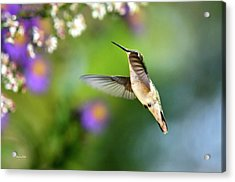 Garden Hummingbird Acrylic Print by Christina Rollo