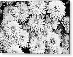 Garden Mums Acrylic Print by Ryan Kelly