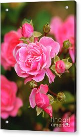Acrylic Print featuring the photograph Garden Rose by Alana Ranney