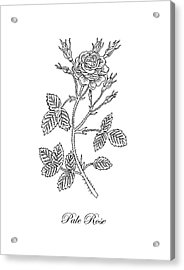 Garden Rose Botanical Drawing Black And White Acrylic Print
