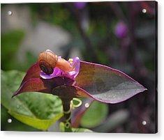Garden Snails Wandering Acrylic Print