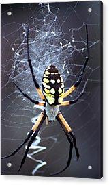 Garden Spider Acrylic Print by Bob Guthridge