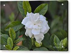 Acrylic Print featuring the photograph Gardenia by John Black