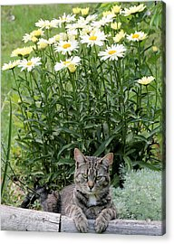 Garfield And Broadway Light Daisies Acrylic Print