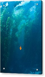 Garibaldi Fish In Giant Kelp Underwater Acrylic Print by James Forte