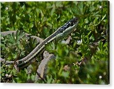 Garter Snake Acrylic Print by Douglas Barnett