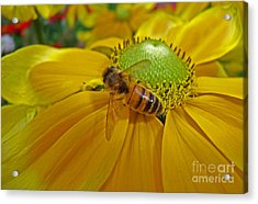 Gathering Nectar Acrylic Print