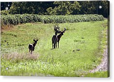 Gathering Of Bucks Acrylic Print by Lori Tordsen