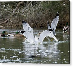 Acrylic Print featuring the photograph Gathering Of Egrets by George Randy Bass