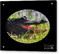 Acrylic Print featuring the photograph Gator Grin .png by Al Powell Photography USA