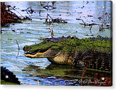 Gator Growl Acrylic Print by Barbara Bowen
