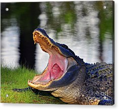 Acrylic Print featuring the photograph Gator Gullet by Al Powell Photography USA