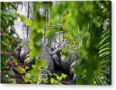 Gator Love Acrylic Print