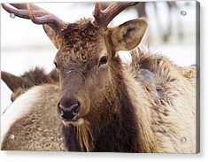 Acrylic Print featuring the photograph Gaze From A Bull Elk by Jeff Swan