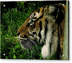 Gaze Of The Tiger Acrylic Print by Edan Chapman