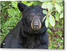 Gazing Black Bear Acrylic Print