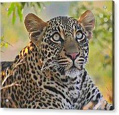 Gazing Leopard Acrylic Print
