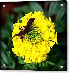 Gecko And Marigold Acrylic Print