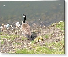 Geese Family Acrylic Print by DebiJeen Pencils