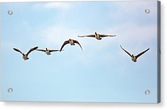 Geese In Flight 2018 Acrylic Print