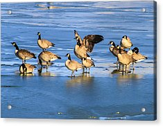Geese On Ice Acrylic Print