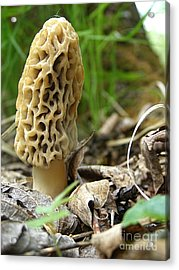 Gem Of The Forest - Morel Mushroom Acrylic Print