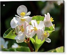 Gentle Bloom Acrylic Print
