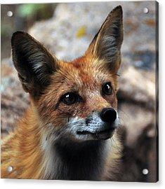 Gentle Fox Acrylic Print