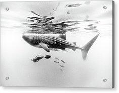 Gentle Giant Acrylic Print by One ocean One breath