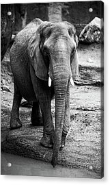 Acrylic Print featuring the photograph Gentle One by Karol Livote