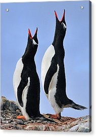 Gentoo Love Song Acrylic Print by Tony Beck