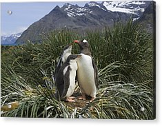 Gentoo Penguin And Young Chicks Acrylic Print