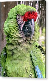 George The Parrot Acrylic Print