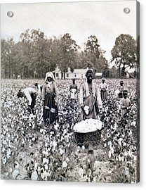 Georgia Cotton Field - C 1898 Acrylic Print by International  Images