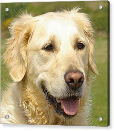 Georgie The Golden Retriever Acrylic Print by Hilary Burt