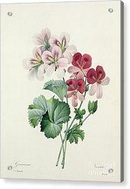 Geranium Variety Acrylic Print by Pierre Joseph Redoute