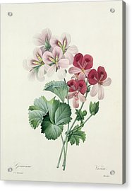 Geranium Variety Acrylic Print