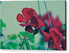 Acrylic Print featuring the photograph Geraniums by Penni D'Aulerio