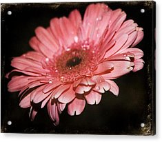 Gerber Acrylic Print by Cathie Tyler