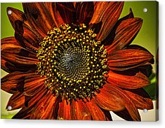 Gerber Daisy Full On Acrylic Print